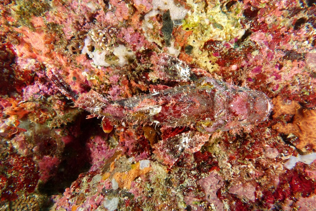 A scorpionfish's camouflage.