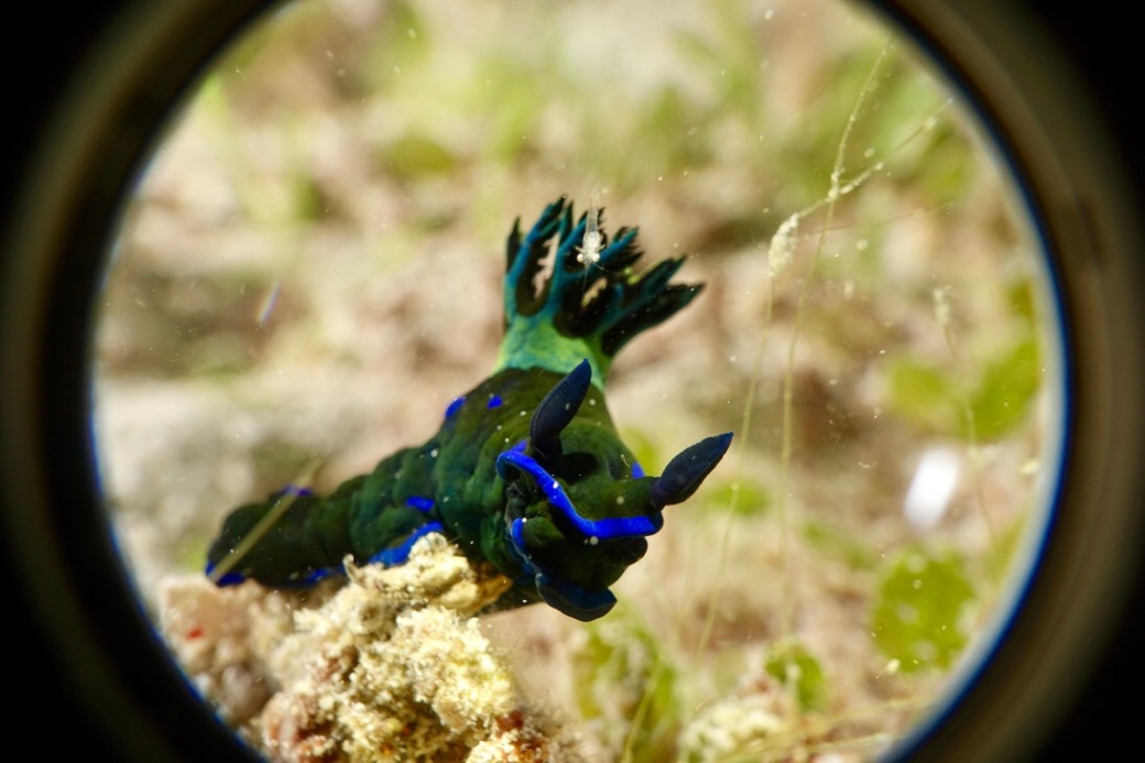 A green and blue nudibranch