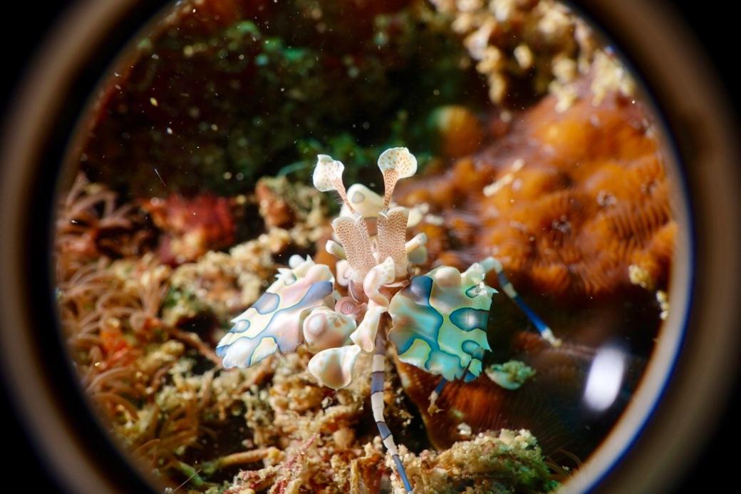 A harlequin shrimp
