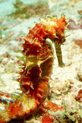 Common seahorses of all colors were welcome sightings.