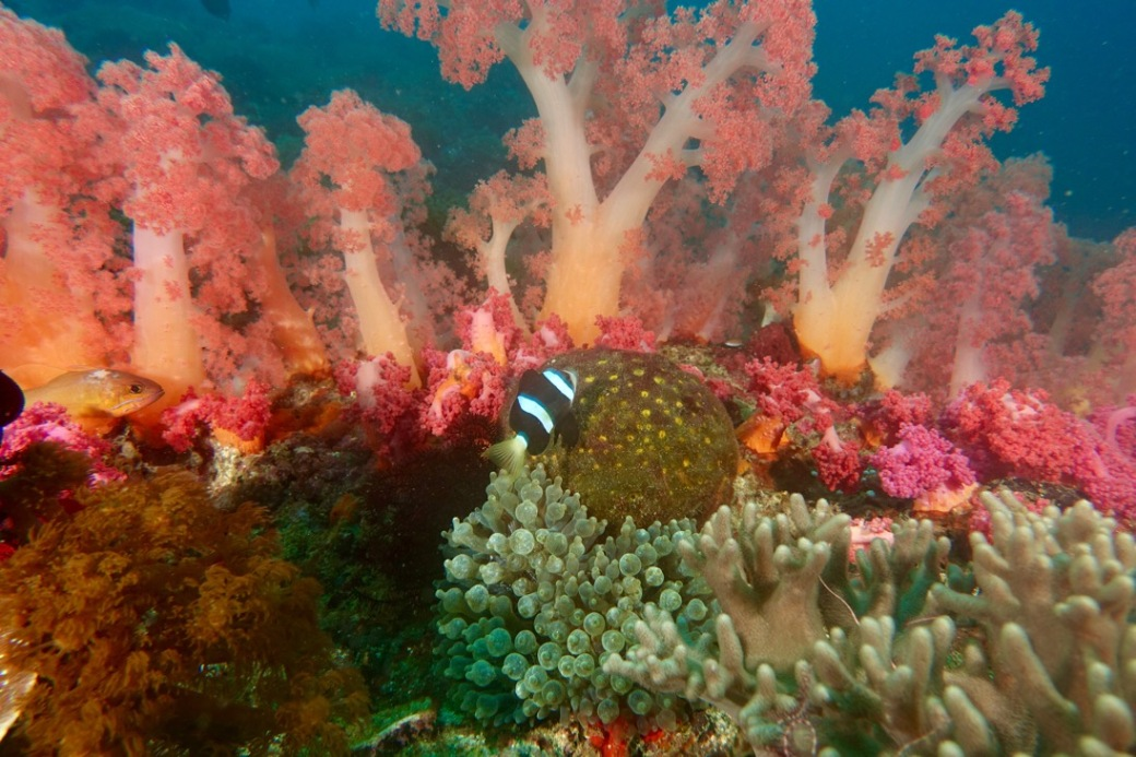 Anemone fish in a forest of soft corals.
