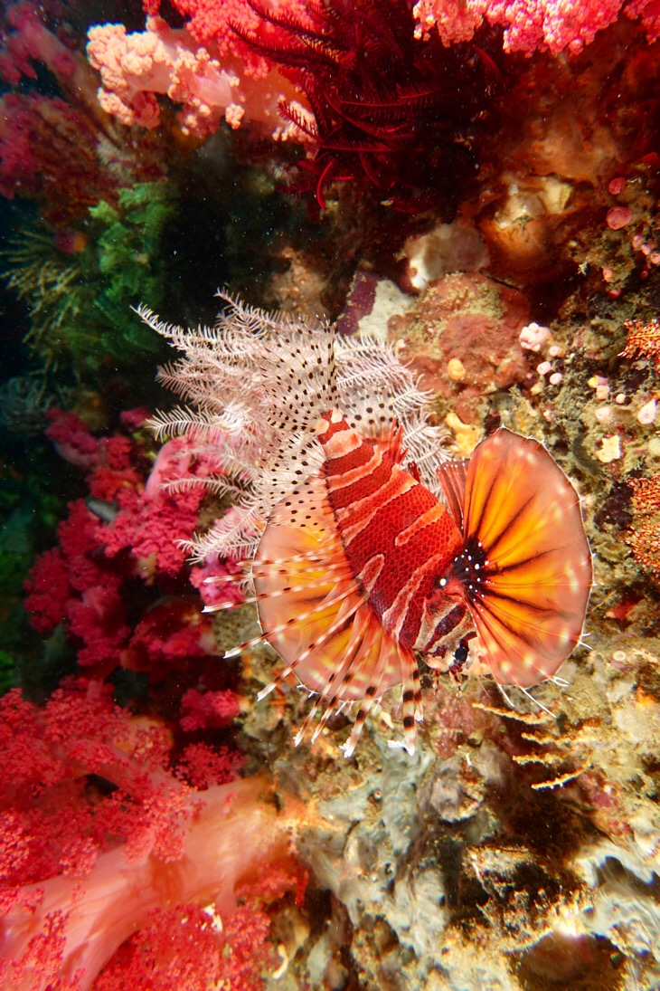 Lionfish, soft corals, crynoids, and rest